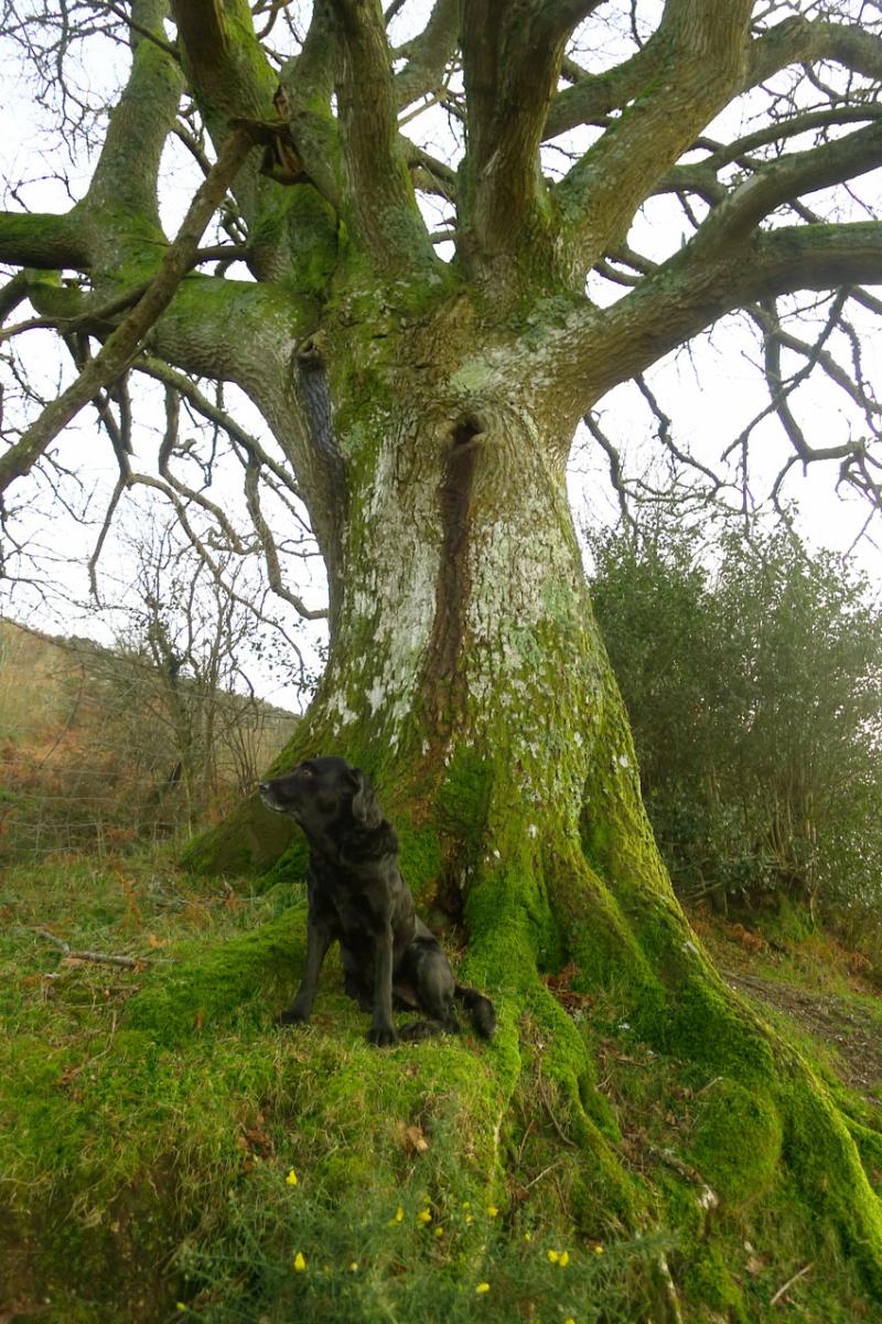 Oak elder