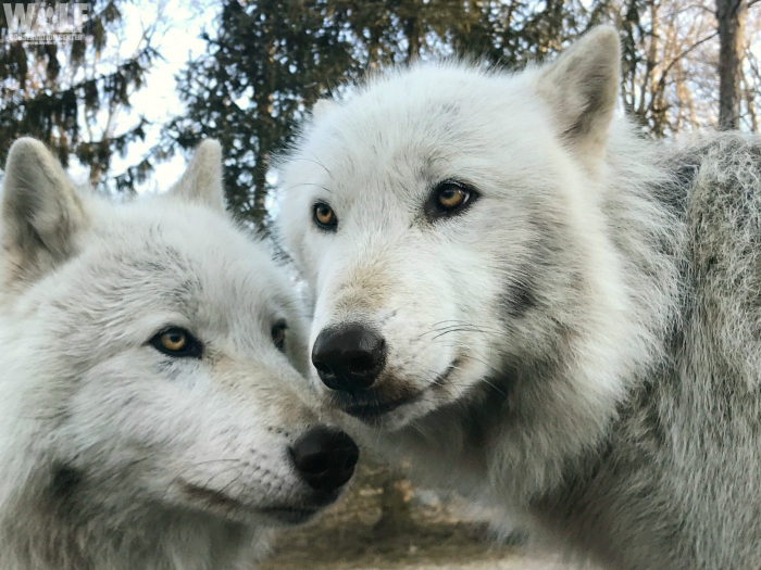 from The Wolf Conservation Center, New York
