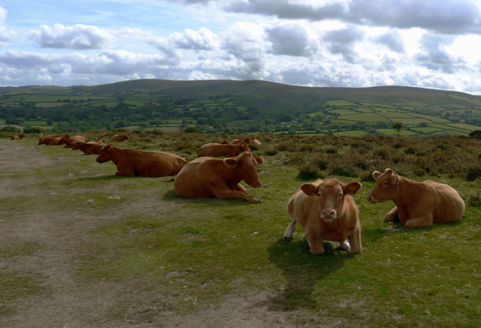 Cows here on Dartmoor