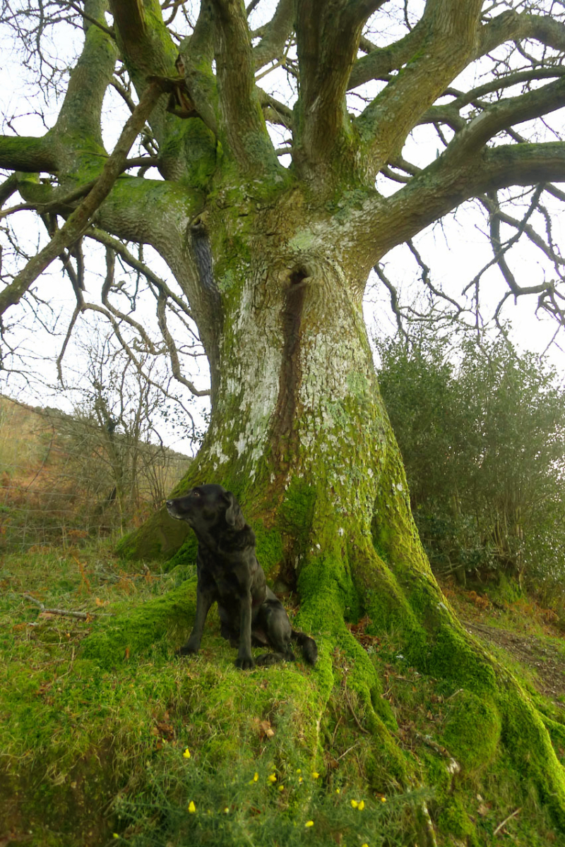 Oak Elder in winter