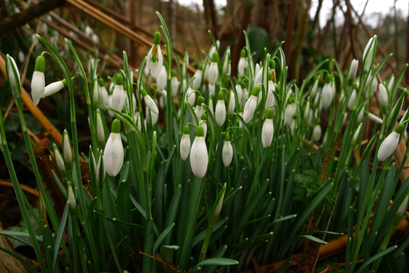The white bells of snowdrops