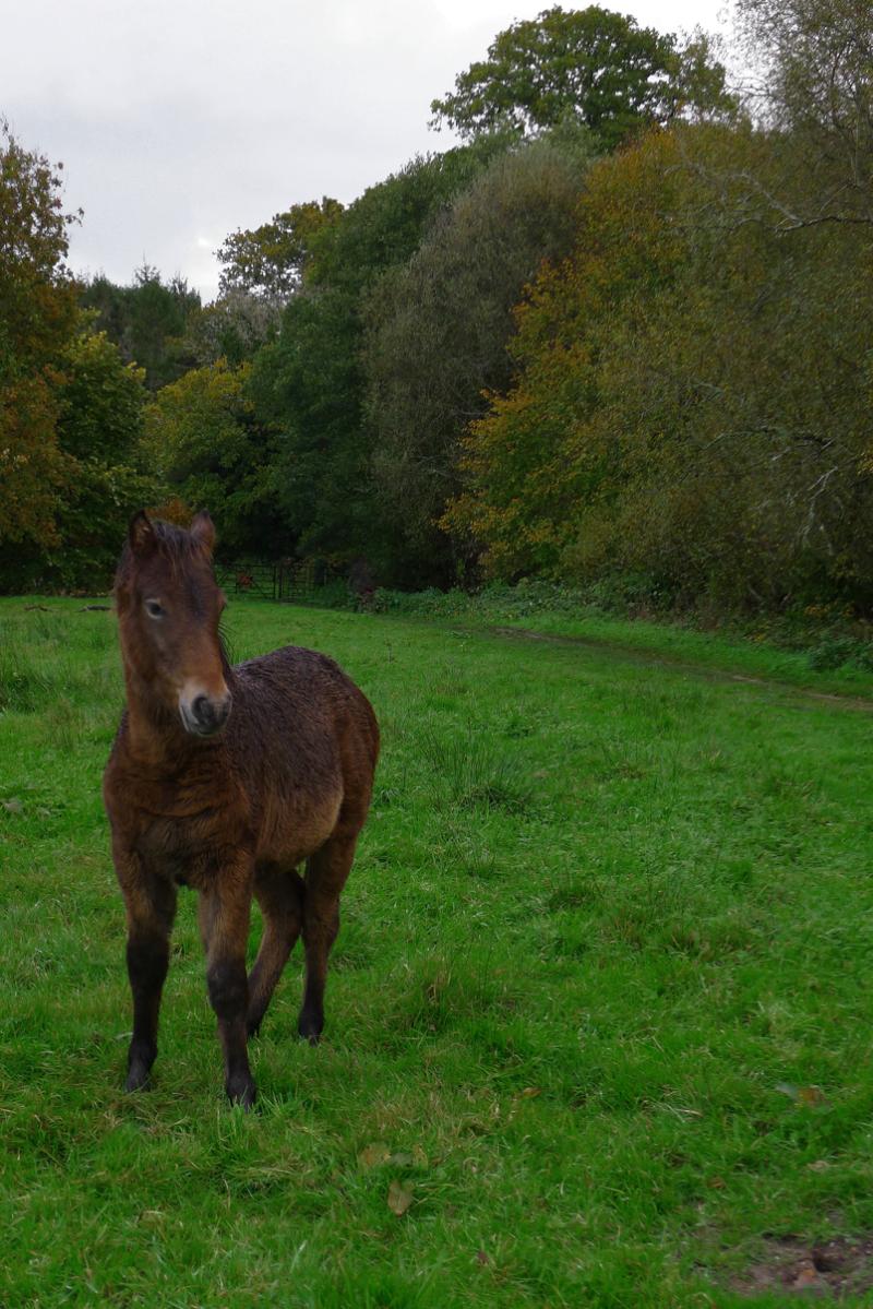 Dartmoor ponies 11