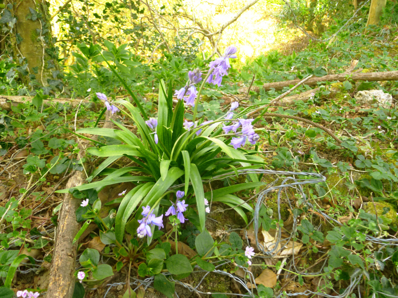 Bluebells and barbed wire