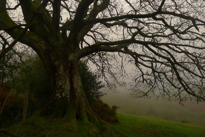 The Oak Elder in early morning light
