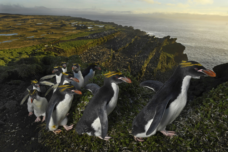 The Plumage Parade (penguins on Marion Island) by Thomas P Peschak