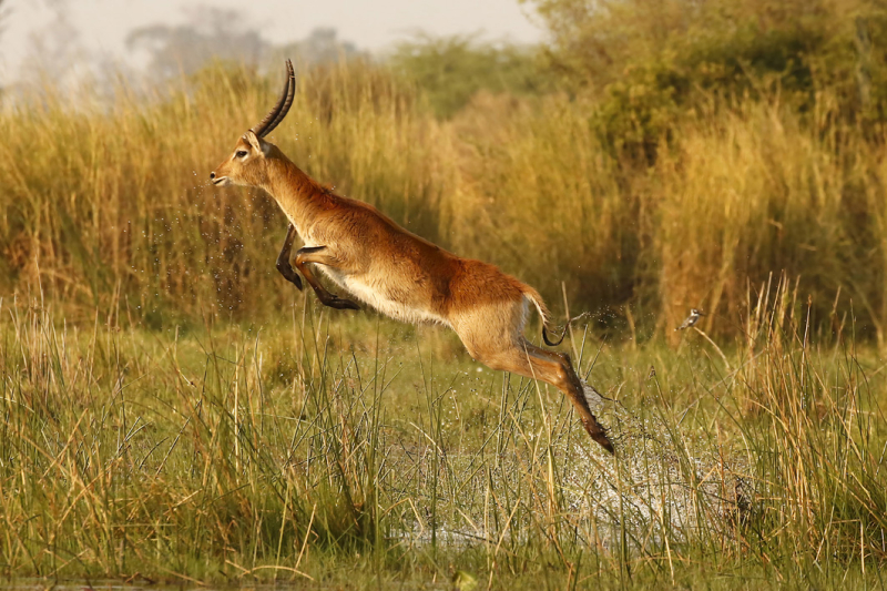 The Aquabatic Antelope (red lechwe, south central Africa) by Branson Meaker