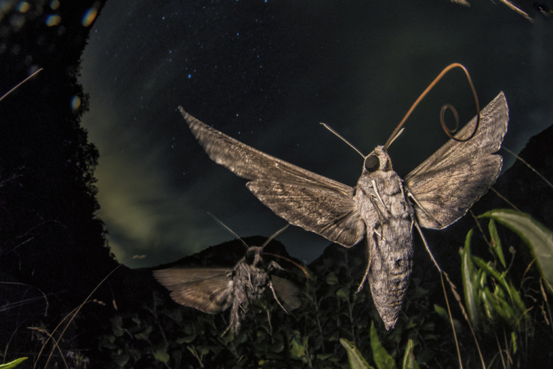Migrant Megamoths (convolvulas hawkmoths in the Apuan Alps) by Lorenzo Shoubridge