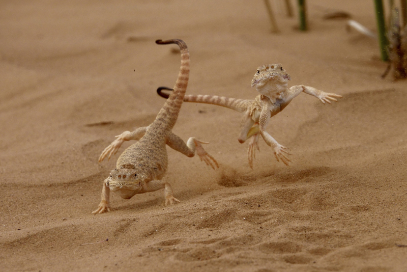 War Dance (desert toad-headed agamas) by Victor Tyakh