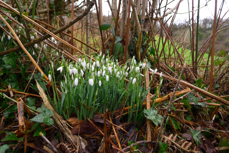 Snowdrops in the hedgerow