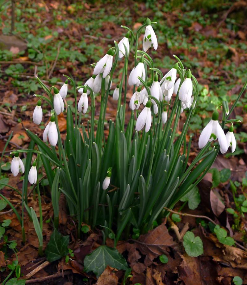 Devon Snowdrops