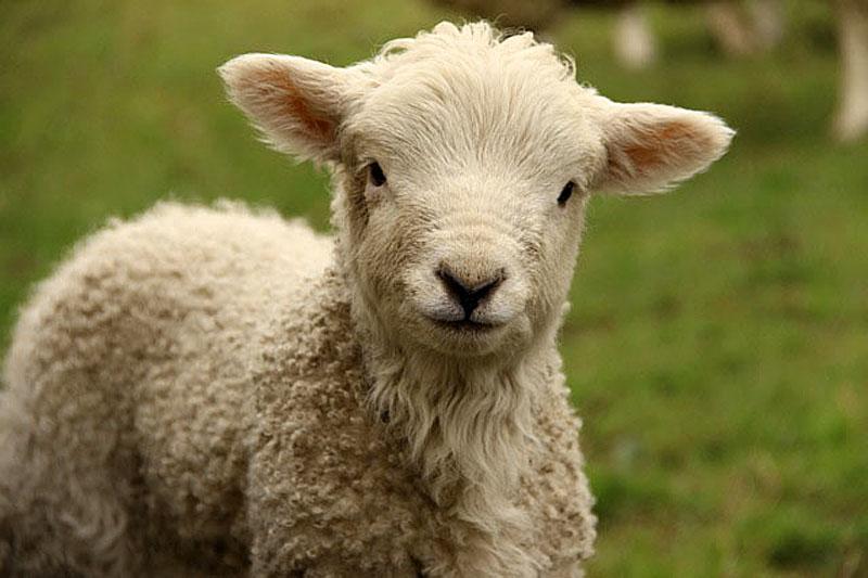 Spring lamb, Chagford Photo by Helen Mason