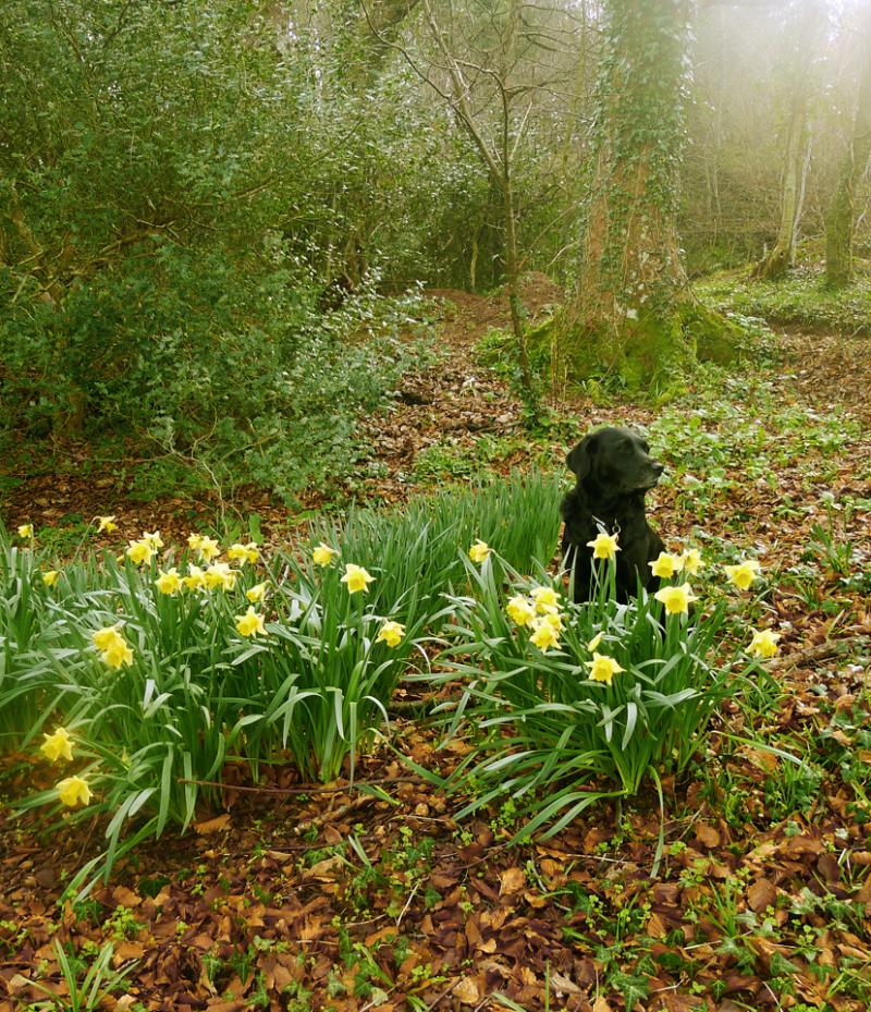 Wild daffodils in Nattadon Woods