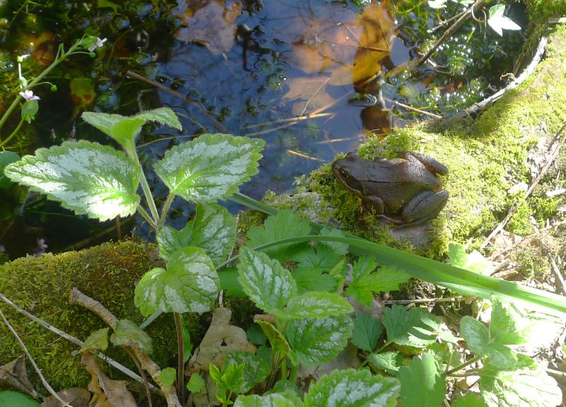 Devon frog