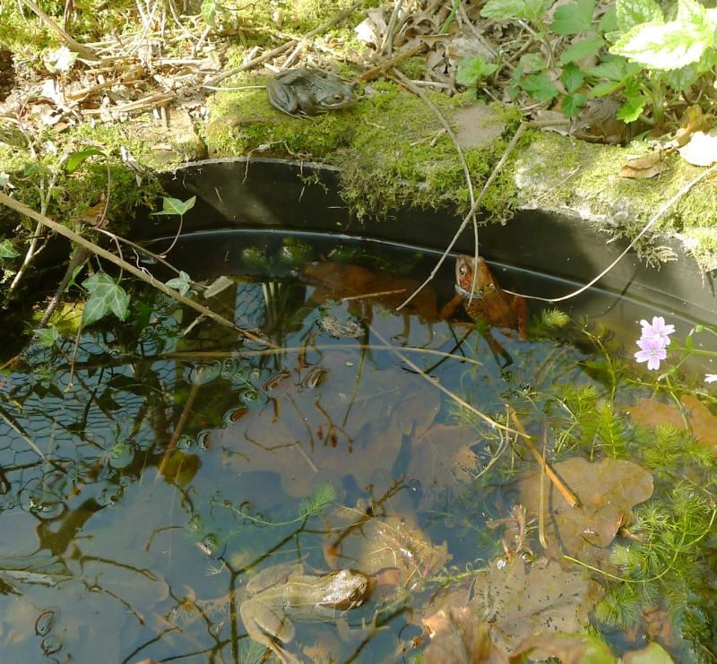 Devon frogs