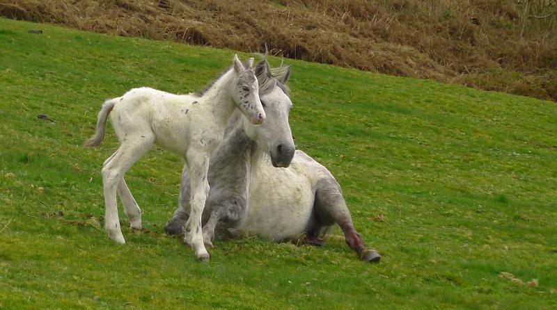 Dartmoor pony and foal, Chagford
