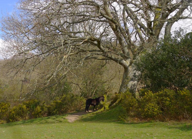 Oak and pony