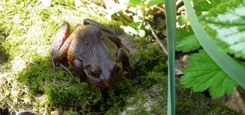 Bumbehill frog,  April 2020.