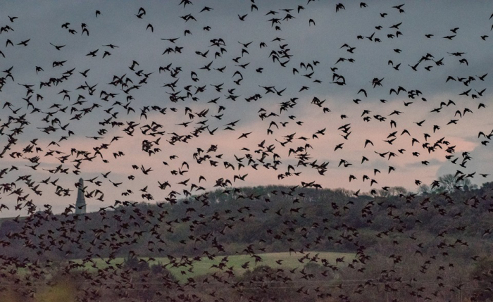Starling Murmuration by Sophie Hale