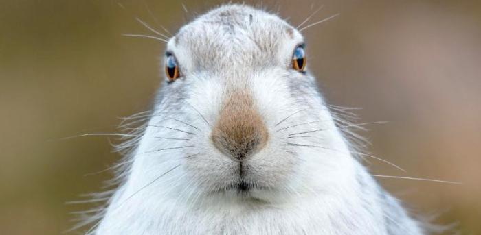 White hare photograph bgy David Gibbon