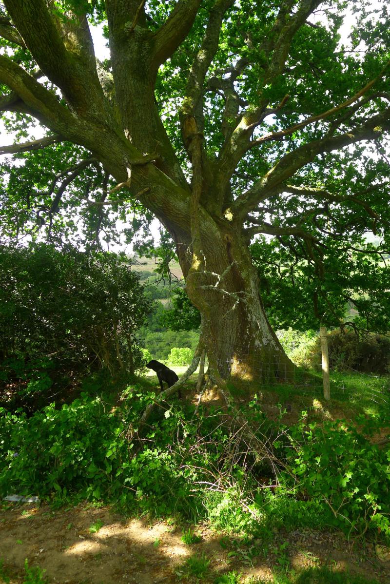 Visiting the oak