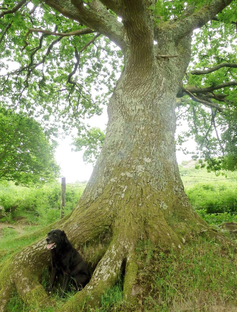Oak elder 6