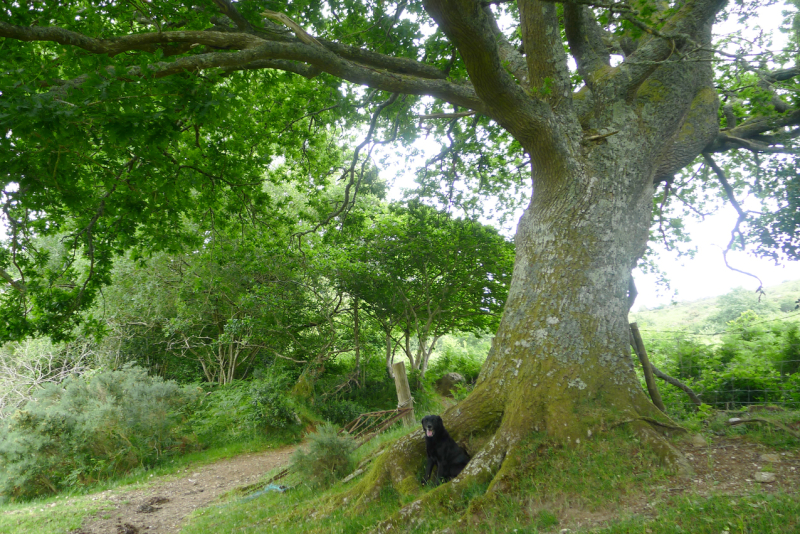 Oak elder 5