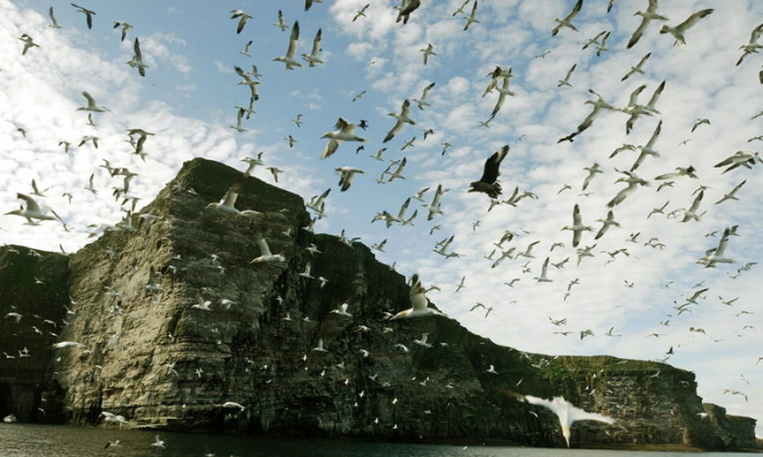 Gannets over the Shetlands