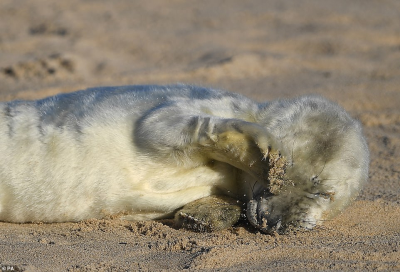 Grey seal pup, Norfolk. Photograph by Friends of Horsey Seals.