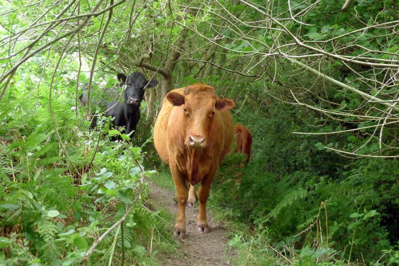 Cows 4