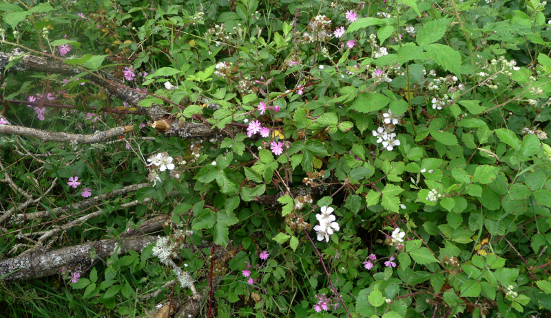 Blackberries and pink campion