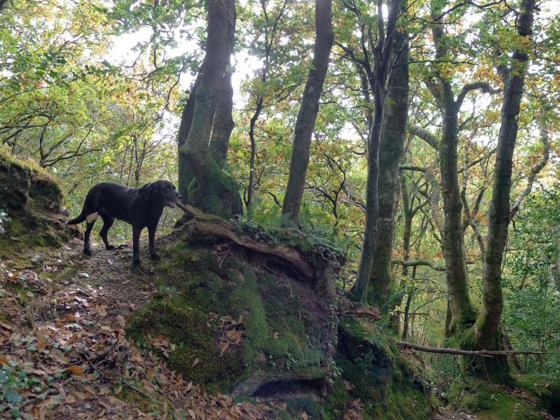 Woodland hound 2