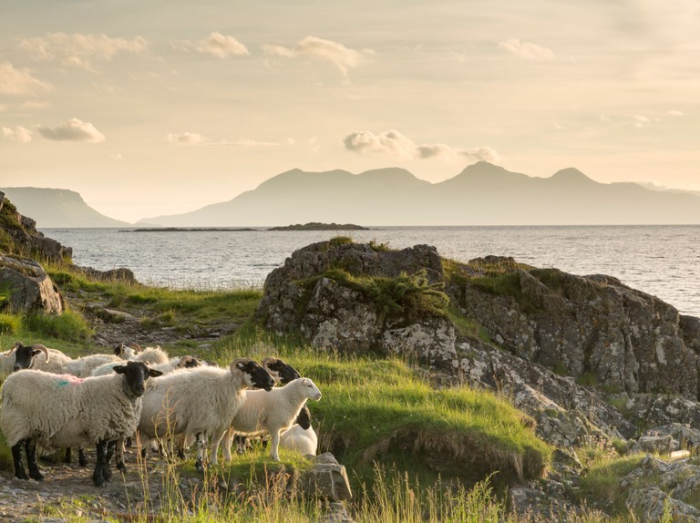 Sheep by the sea - Getty Images