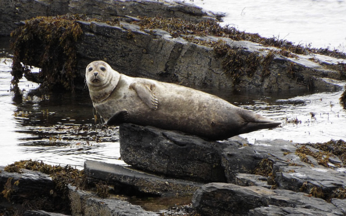 Orkney Harbour Seal