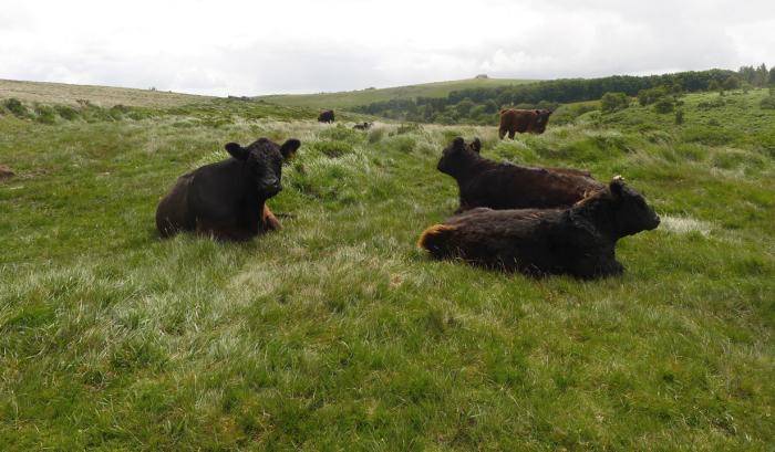 Cows on Dartmoor