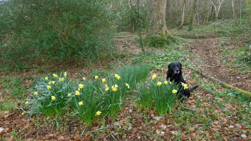 Daffodils and hound