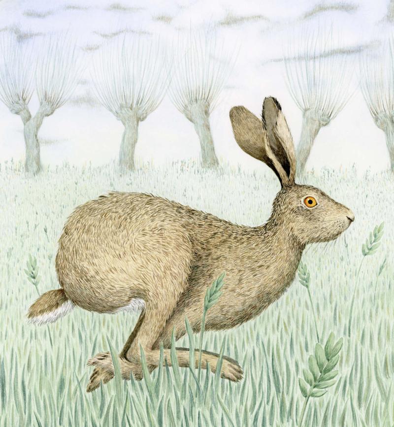 Hare by Marieke Nelissen