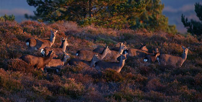 Sika deer hinds by Andy Rouse