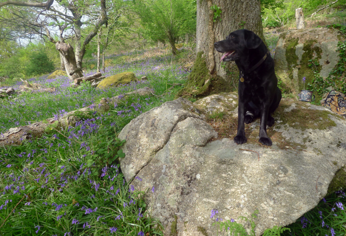 Bluebells in the local Deer Park