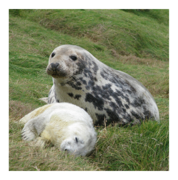 Seal and pup on land