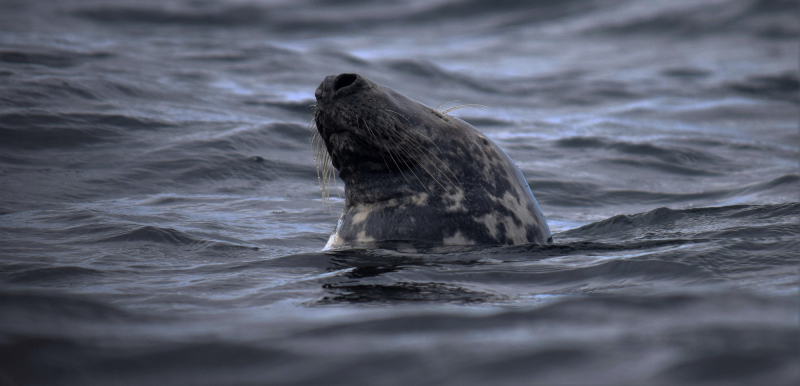 Seal...or selkie? Photograph by David Gange