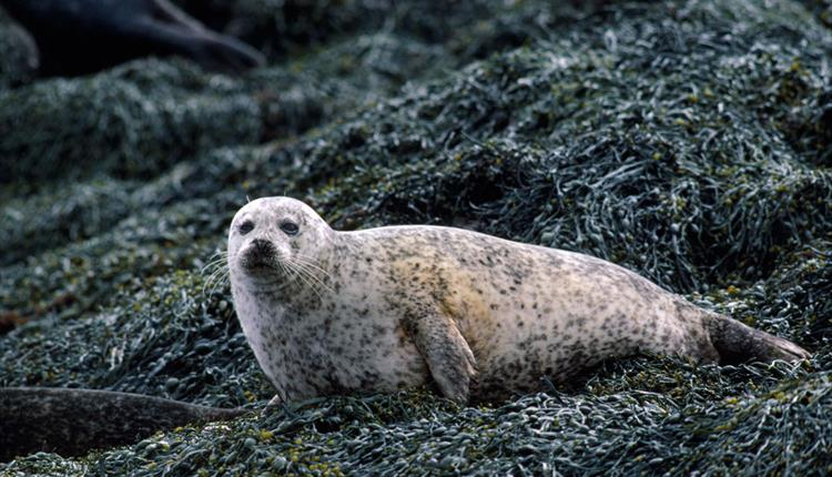 Hebridean seal