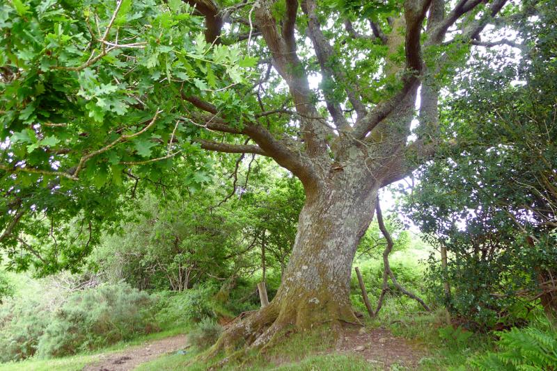 Oak elder 1b