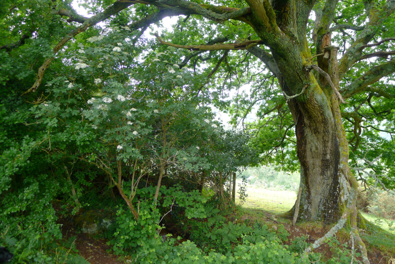 Oak elder 4