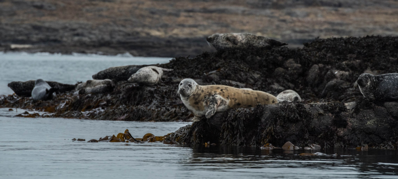 Seal colony in the Inner Hebrides, photograph by David Gange