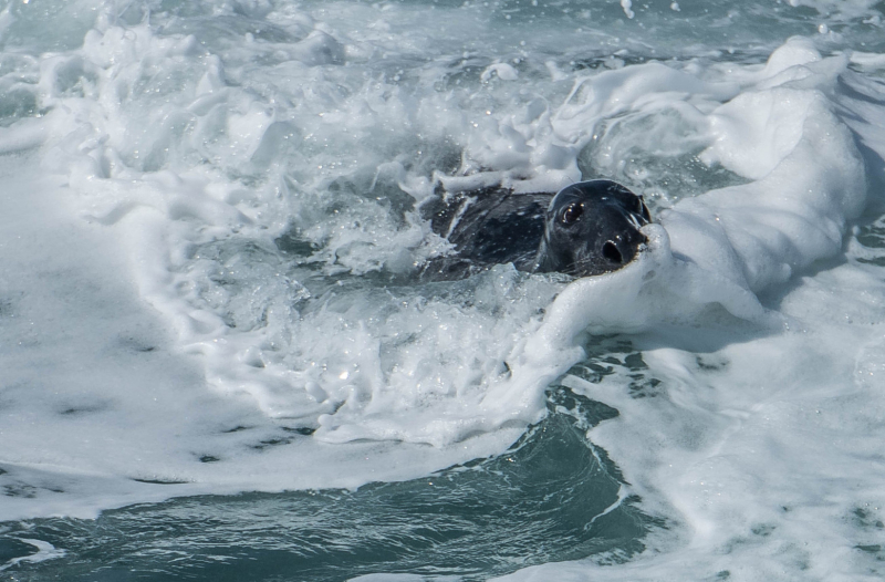 Seal on the Munster coast, photograph by David Gange