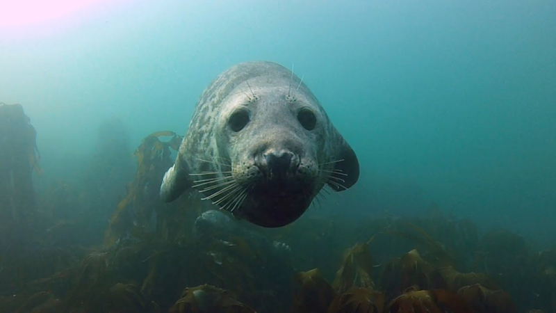 Grey Seal, Farne Islands, photographed by Jason Neilus