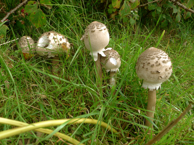 Mushrooms in the field 2