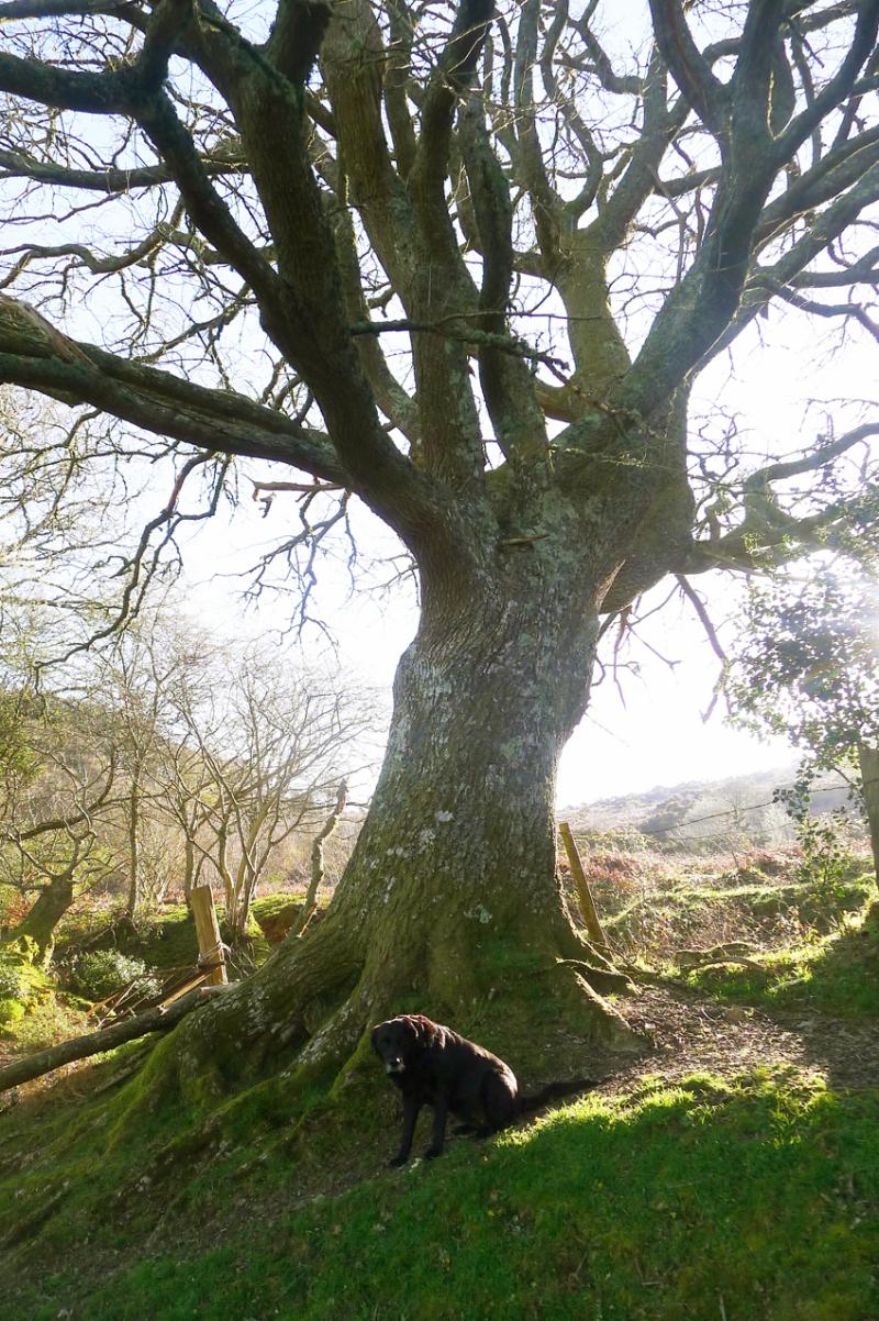 Old Oak 1