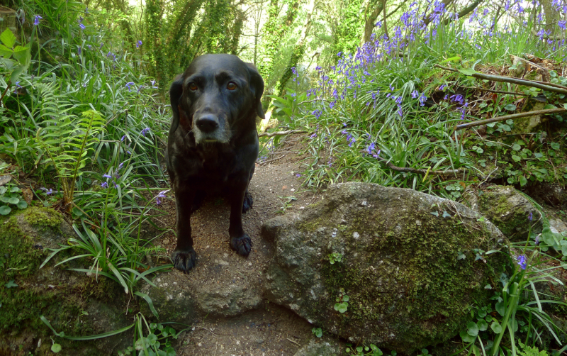 Hound among the  bluebells