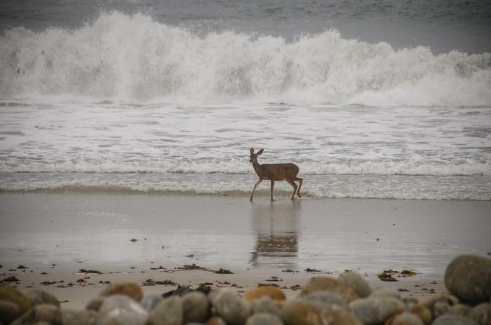 Deer in Ocean Surf by Connie Cooper Edwards